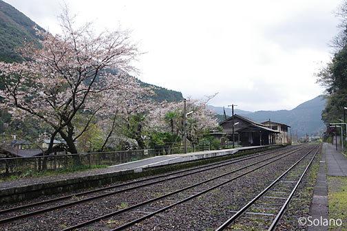 肥薩線・白石駅、プラットホームの桜