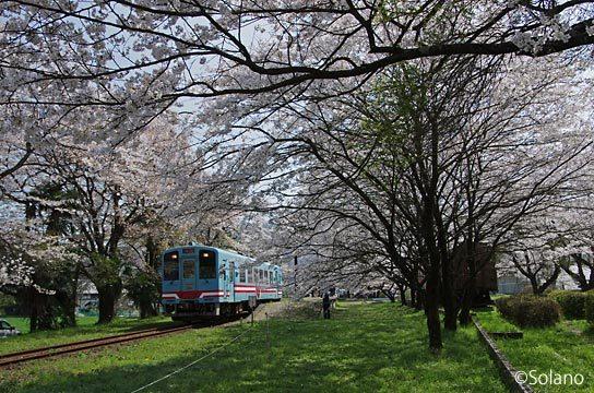 樽見鉄道・谷汲口駅、駅構内中で咲き誇る桜と列車