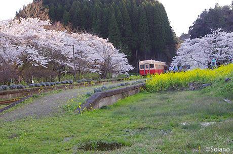 小湊鉄道、桜と菜の花咲き誇る月崎駅に停車した列車