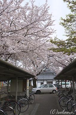 養老鉄道・養老駅、満開の桜で彩られる自転車置場