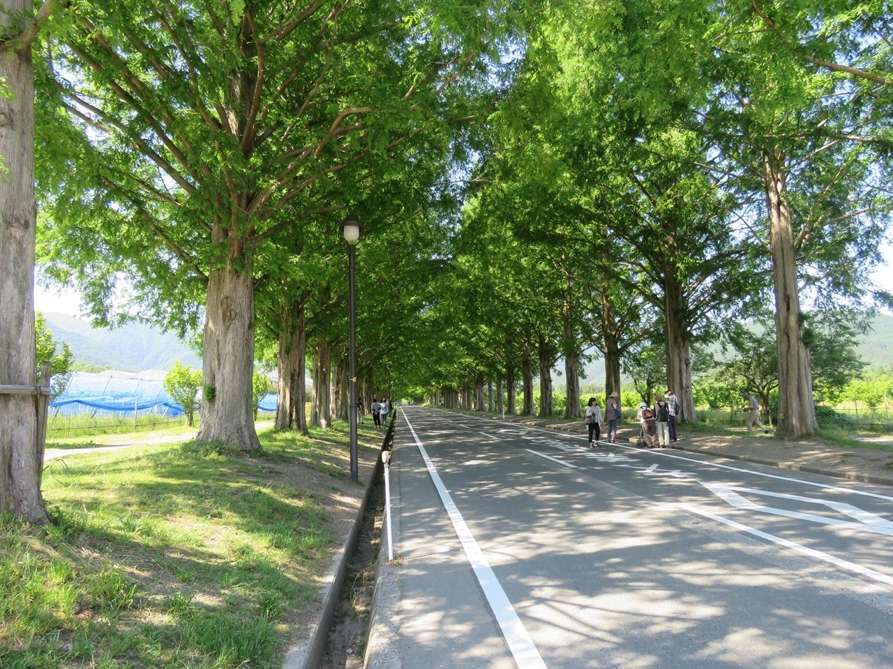 s-メタセコイア並木道