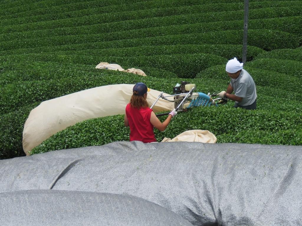 s-機械化茶摘み風景
