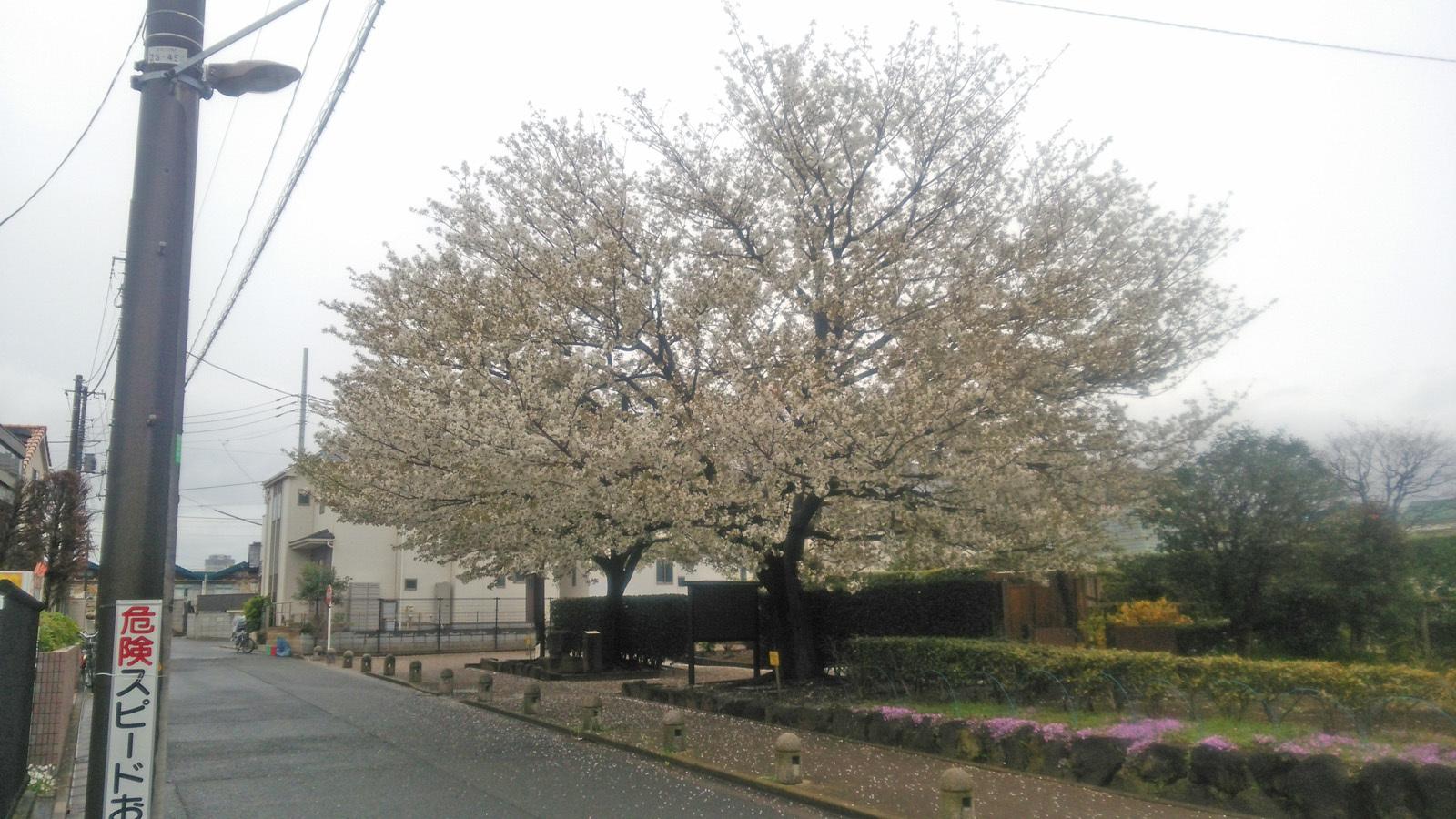 一本桜DSC_5903