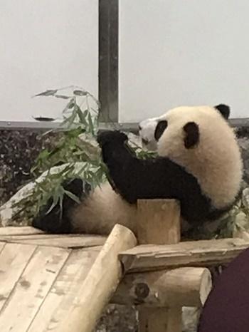 パンダ食事中