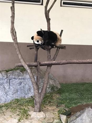 パンダ昼寝中