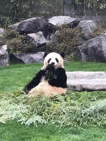 パンダ食事中Ⅱ