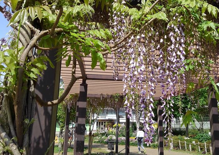 no001藤の花