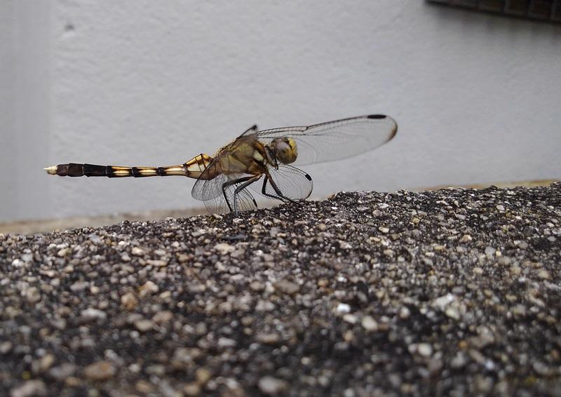 no014蜻蛉