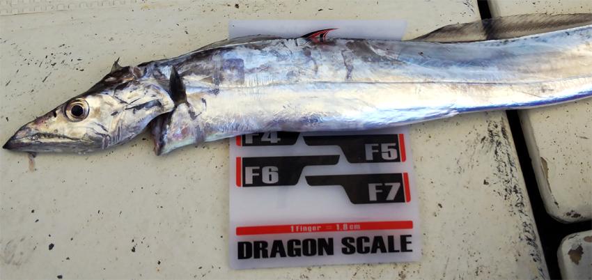 太刀魚・2