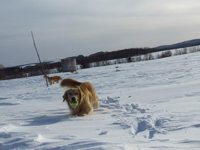 雪原を駆け回るゴールデンレトリバーIMG_1299