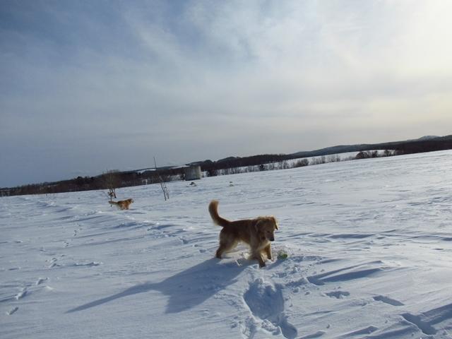雪原を駆け回るゴールデンレトリバーIMG_1295