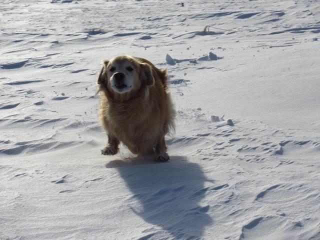 雪原を駆け回るゴールデンレトリバーIMG_1305