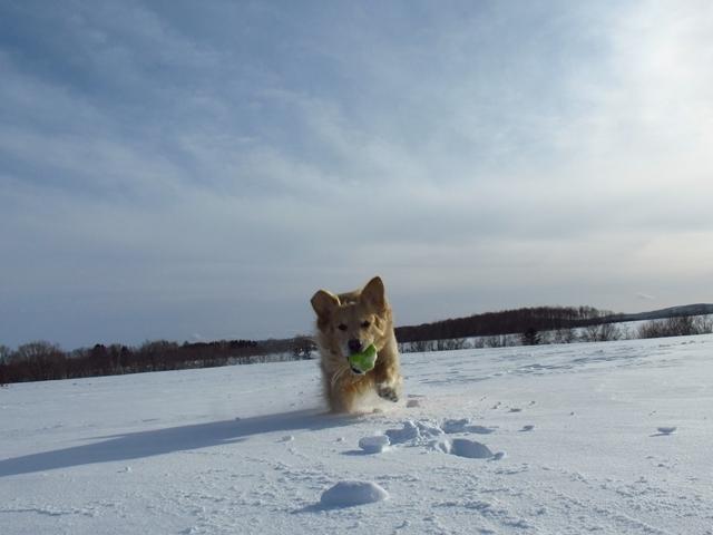 雪原を駆け回るゴールデンレトリバーIMG_1360