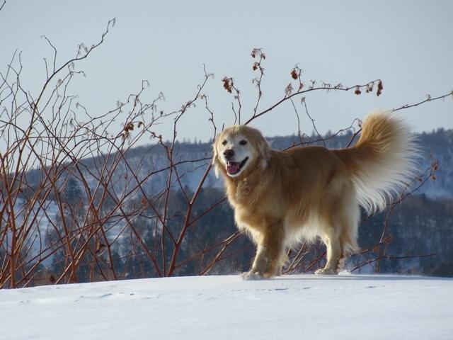 雪原を駆け回るゴールデンレトリバーIMG_1367