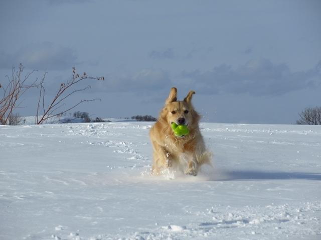 雪原を駆け回るゴールデンレトリバーIMG_1397