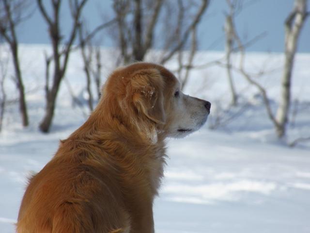雪原を駆け回るゴールデンレトリバーIMG_1447