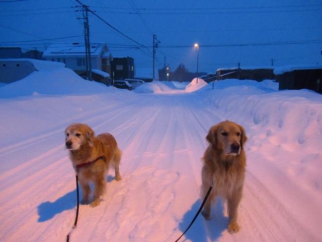 雪原を駆け回るゴールデンレトリバーIMG_1513