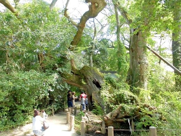 9 20 樹齢3000年