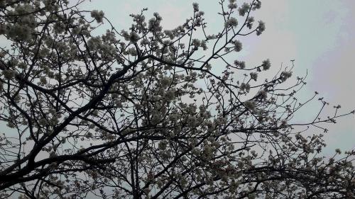 '19桜①