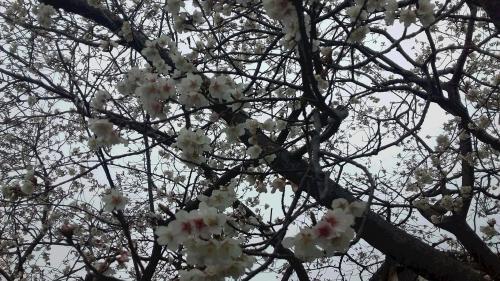 '19桜②