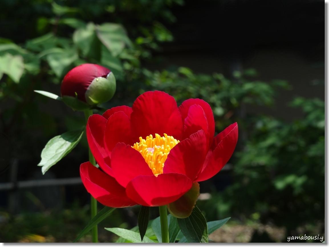 風薫る5月に咲く芍薬の花 2