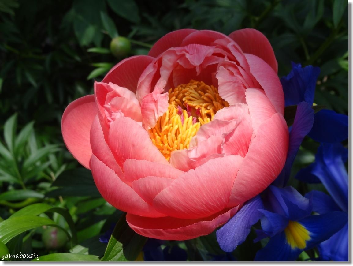 風薫る5月に咲く芍薬の花 3