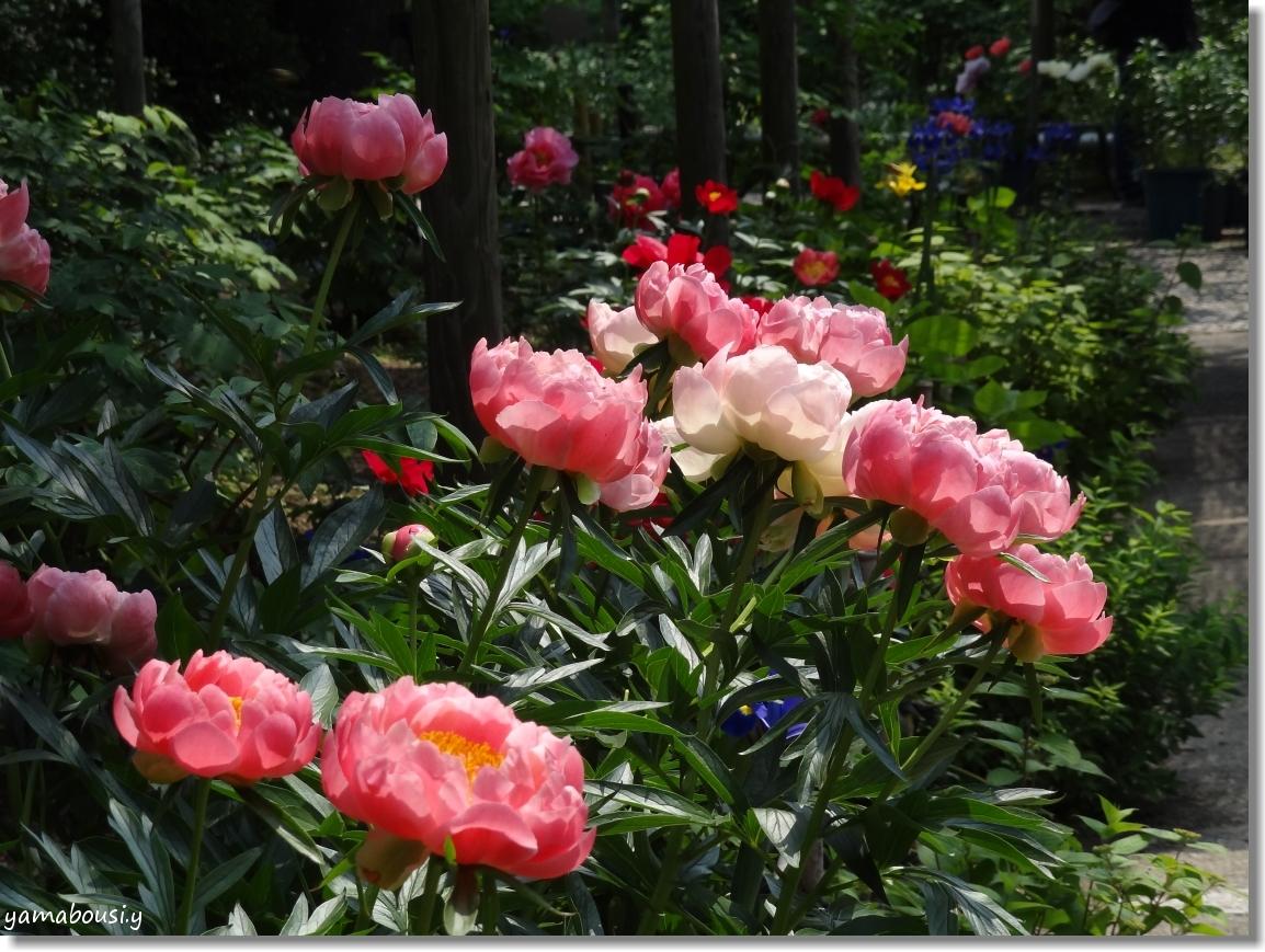 風薫る5月に咲く芍薬の花 4