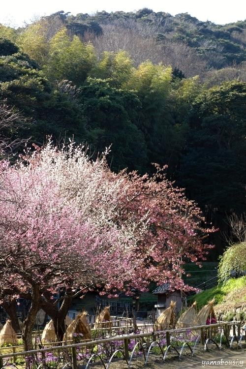 白野江植物公園 DSC01321y