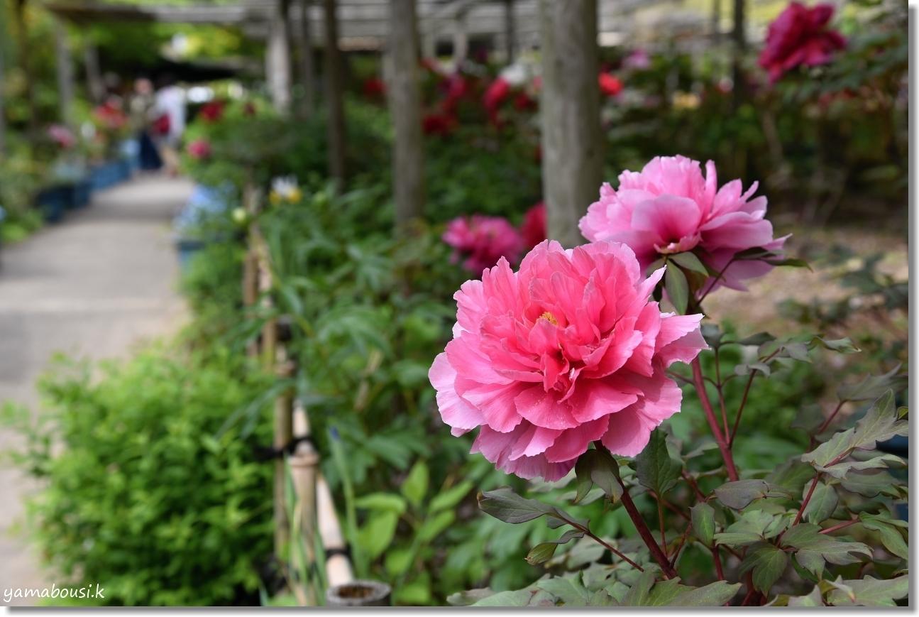 筥崎宮花庭園 牡丹 4