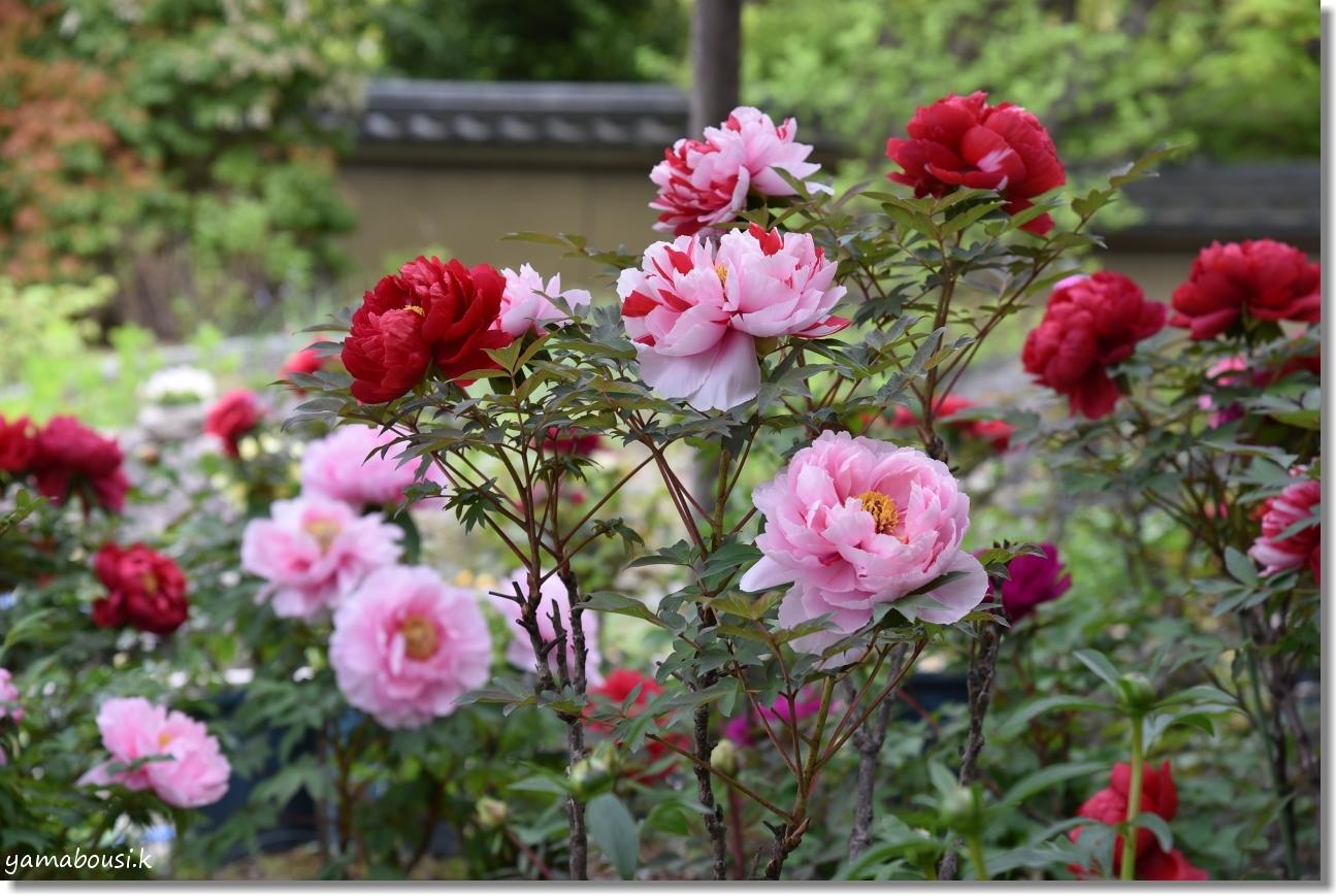 筥崎宮花庭園 牡丹 2