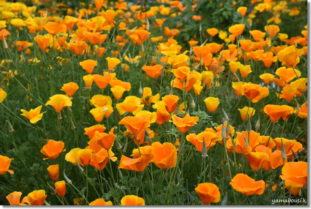 筥崎宮花庭園 ジャーマンアイリスや春の花 2