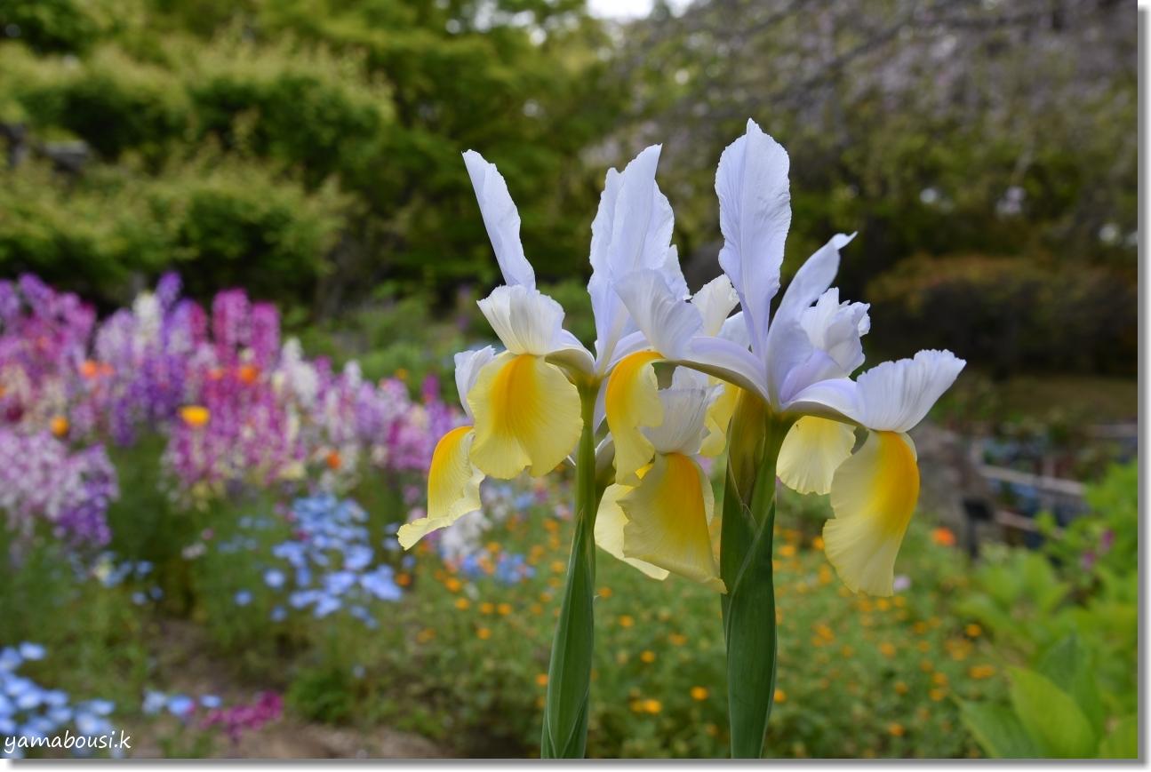 筥崎宮花庭園 ジャーマンアイリスや春の花 3