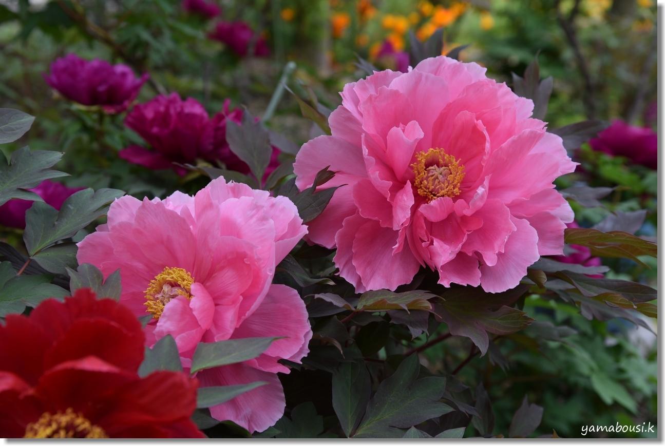 筥崎宮花庭園 牡丹 1