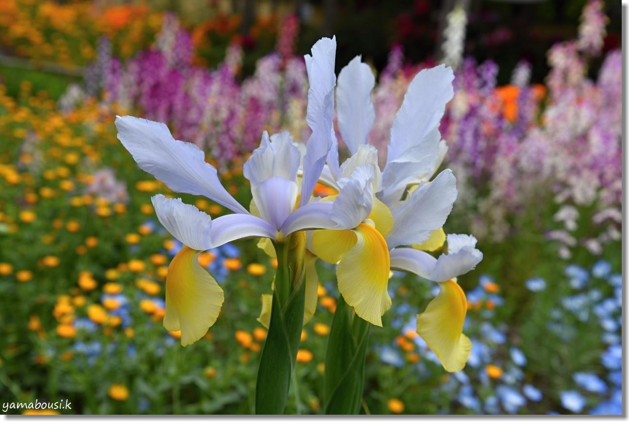 筥崎宮花庭園 ジャーマンアイリスや春の花 1