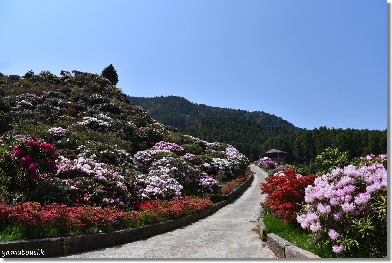 天空の花園に咲くシャクナゲ 1