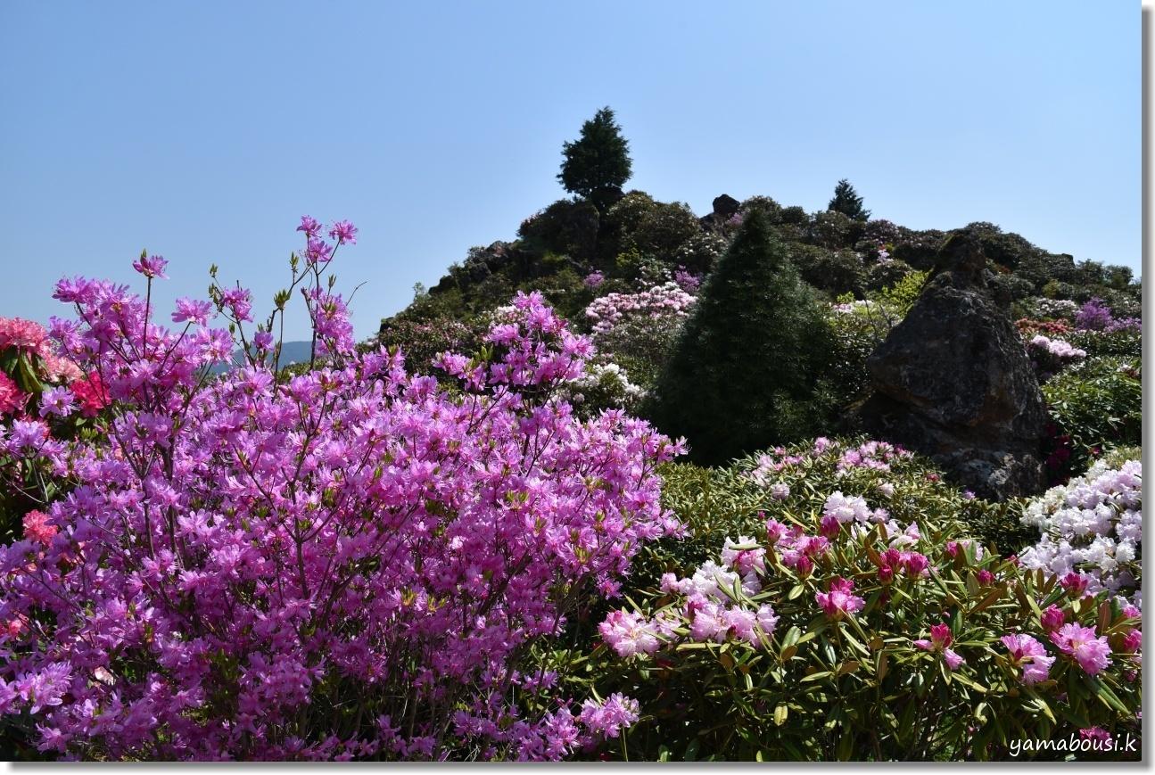 天空の花園に咲くシャクナゲ 2