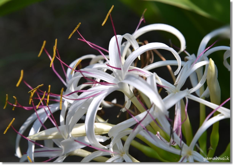 神苑花庭園 ユリの花と新緑 4