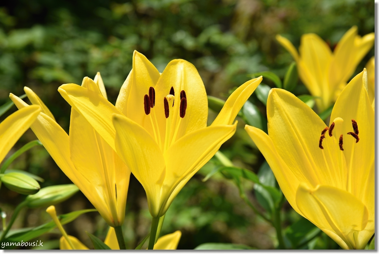 筥崎宮 6月の花庭園はユリの花 4