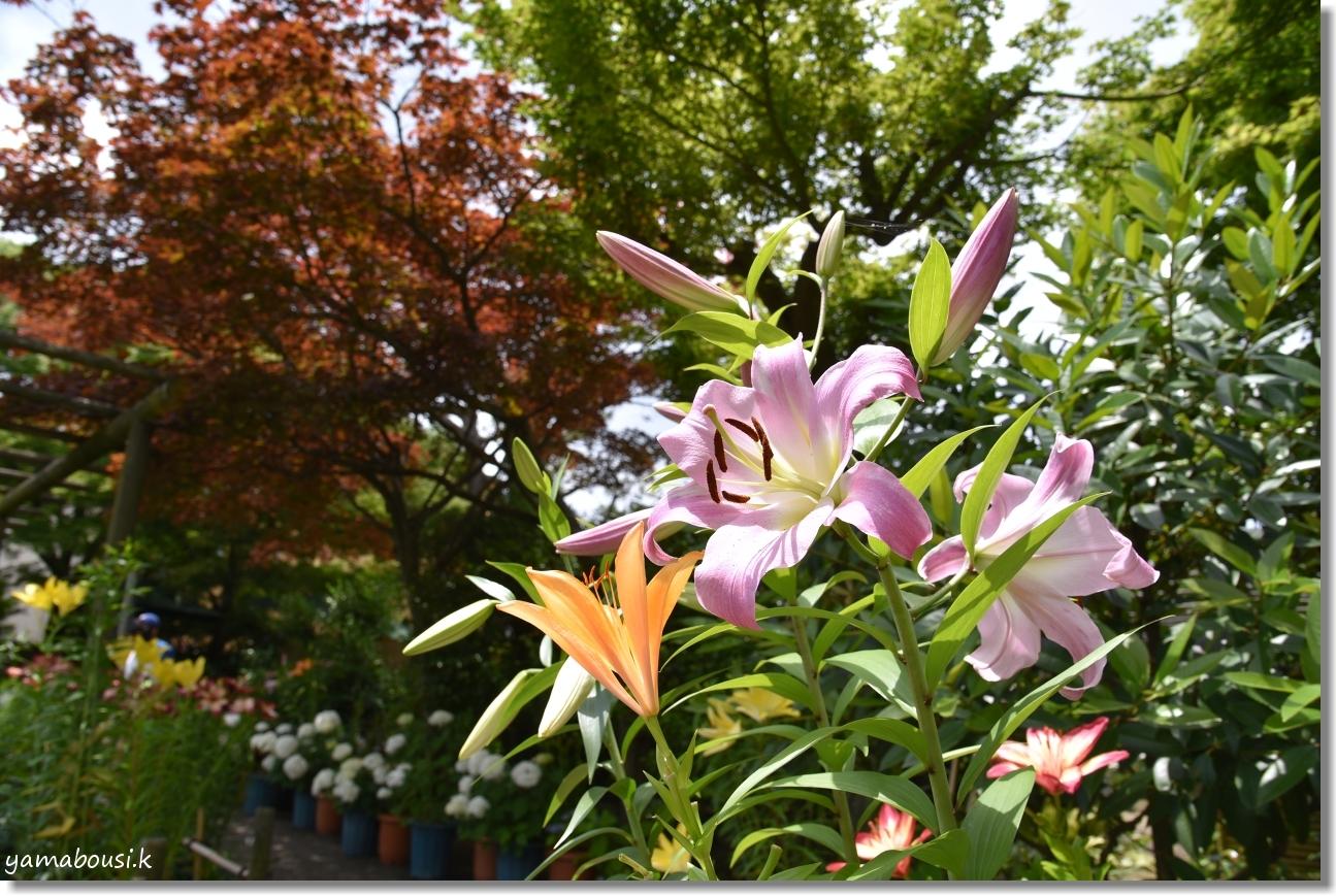 筥崎宮 6月の花庭園はユリの花 5