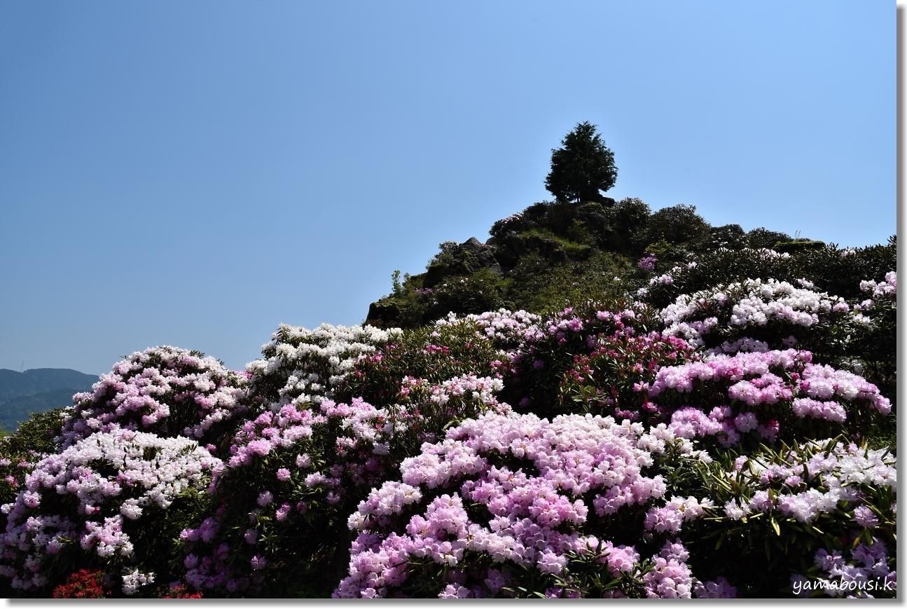 天空の花園に咲くシャクナゲ 3
