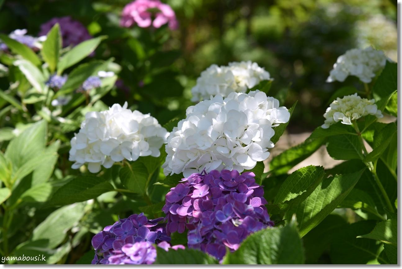 うみなか トキワヤマボウシと紫陽花 7