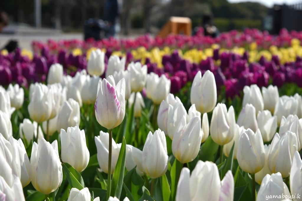 冬咲きチューリップ6