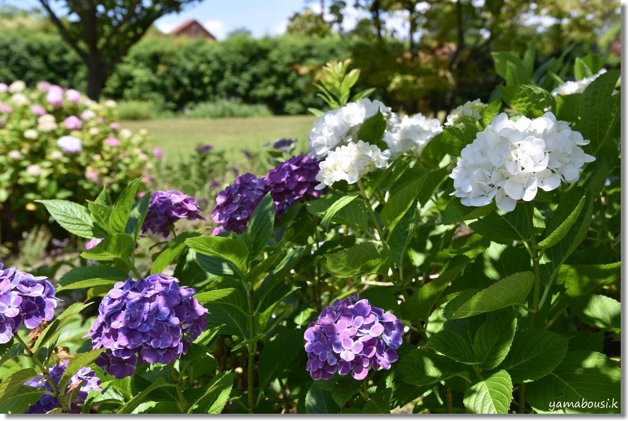 うみなか トキワヤマボウシと紫陽花 5