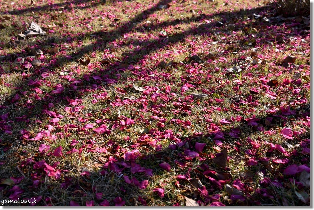 冬咲きチューリップ1