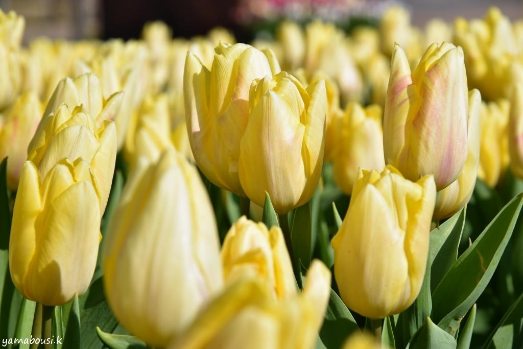 冬咲きチューリップ22
