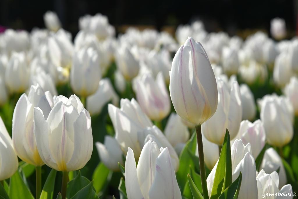 冬咲きチューリップ5
