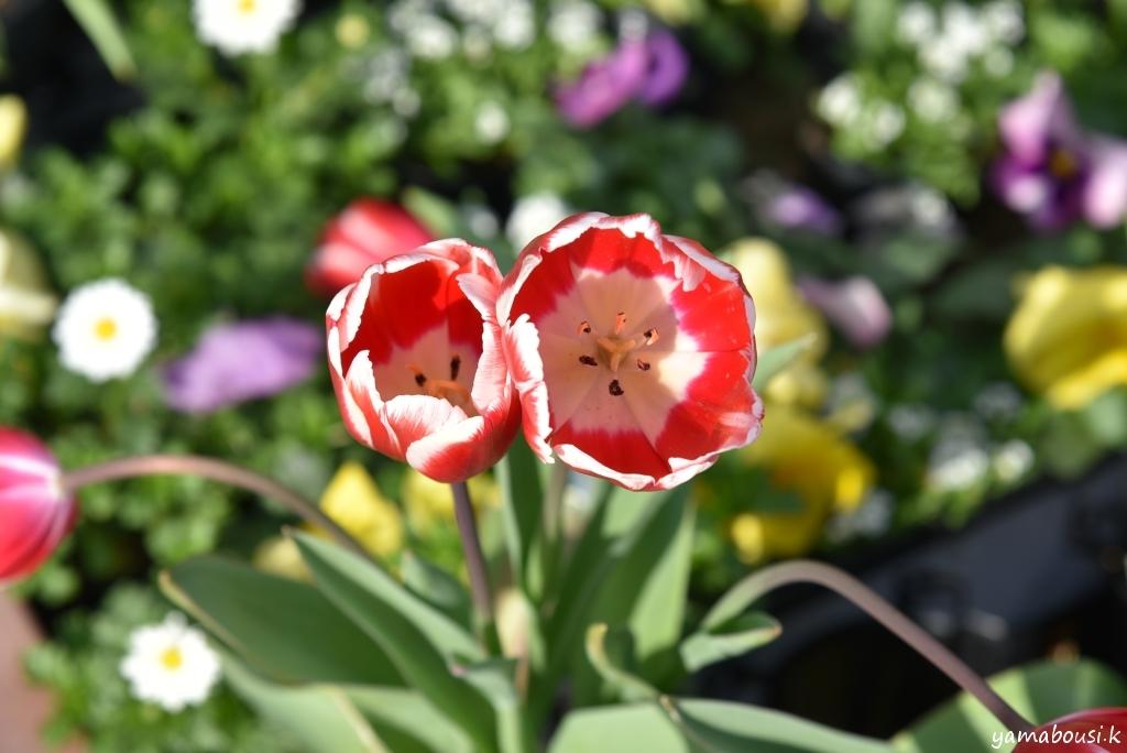 冬咲きチューリップ4