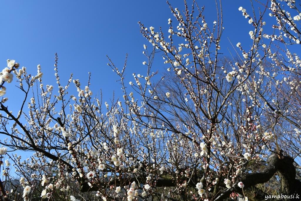 花畑園芸公園の梅の花1