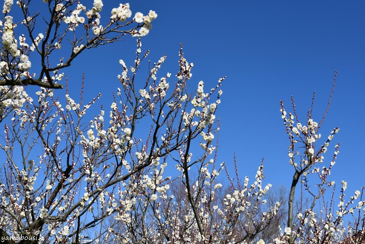 早春に咲く梅の花4