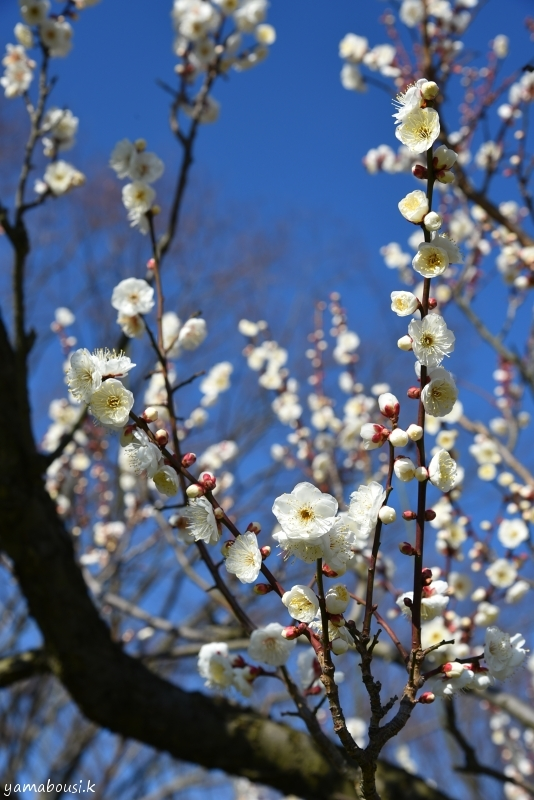 花畑園芸公園の梅の花3